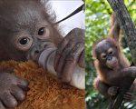 猩猩宝宝迪迪克受枪伤,且患病、饿得奄奄一息。获救后它康复得很快,之后顺利从学前班毕业,升入小学。(视频截图/大纪元合成)
