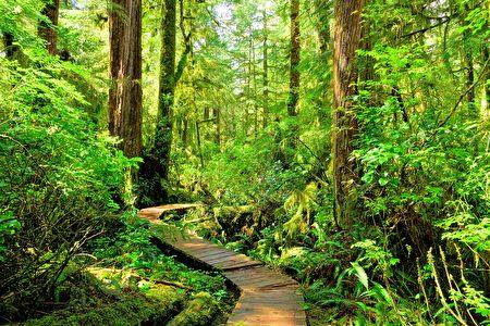 太平洋国家公园的原始森林。(Fotolia)