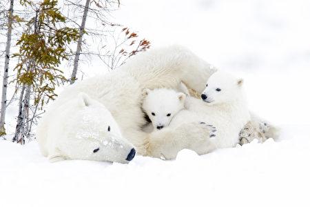 瓦布斯克国家公园是世界上最大的北极熊聚集地之一。(Fotolia)