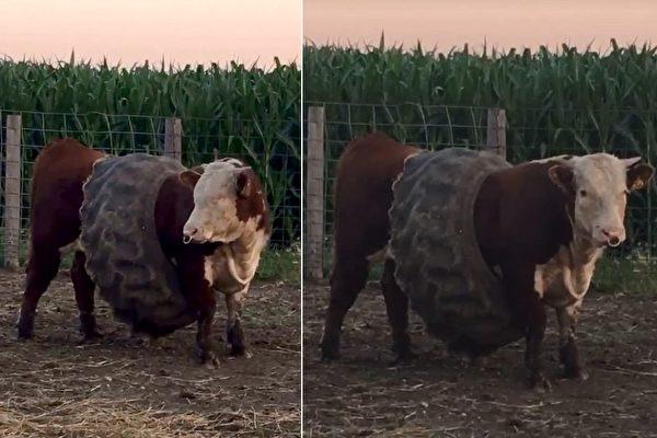 美国爱荷华州一家农场的公牛,突然自行把一个旧轮胎套在腰腹部,仿佛穿上马甲一般,很好笑。(视频截图/大纪元合成)