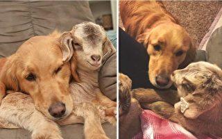 金色尋回犬Loryn和4隻小山羊團在一處打盹兒,親如母子。(Instagram: life_of_girlfriends/大紀元合成)