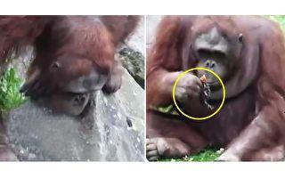 野鴨孤兒溺水 善良又冷靜的猩猩妙手相救