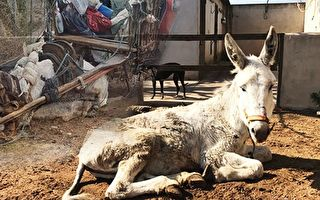 13小時內有12,000位愛心人士簽名請願,翌日將驢子維達從累死的邊緣救了回來。(Ntd.tv)