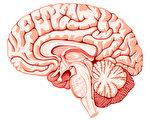"""很多人都有过恍神或头脑突然一片空白的经验,这种情况在英文中叫""""大脑放屁""""(brain fart)。图为大脑的结构。(Fotolia)"""