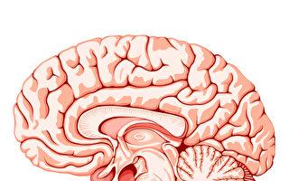 很多人都有過恍神或頭腦突然一片空白的經驗,這種情況在英文中叫「大腦放屁」(brain fart)。圖為大腦的結構。(Fotolia)