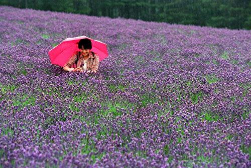 位於北海道富良野的薰衣草花園。(Stringer/Getty Images)