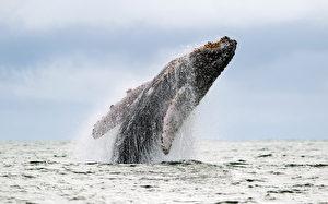 美国36岁男子在加州旧金山外海冲浪,撞上一头座头鲸,惊险但未造成伤害。(LUIS ROBAYO/AFP/Getty Images)