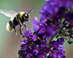 每天蜜蜂們都忙著採集花粉和花露運回蜂巢,每天要飛進飛出幾十趟,樂此不疲。(ROLAND WEIHRAUCH/AFP/Getty Images)