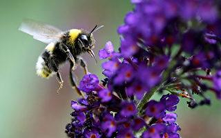 每天蜜蜂们都忙着采集花粉和花露运回蜂巢,每天要飞进飞出几十趟,乐此不疲。(ROLAND WEIHRAUCH/AFP/Getty Images)
