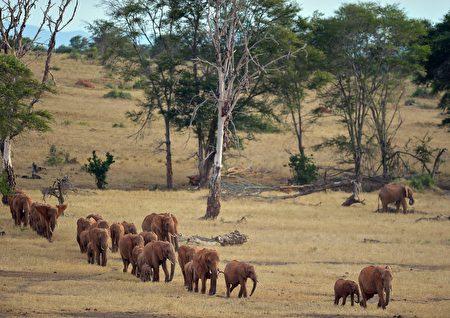西查佛国家公园(Tsavo West National Park)内的象群。 (TONY KARUMBA/AFP/Getty Images)