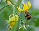 全球近90%的農作物必須靠蜜蜂授粉。也就是說,平均每人吃三口食物,就有一口是拜蜜蜂所賜。     (PATRICK PLEUL/AFP/Getty Images)