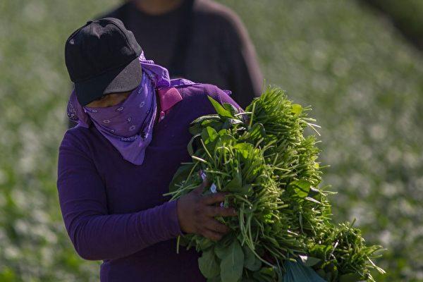 图为美国加州的外国工人在采摘菠菜。(DAVID MCNEW/AFP/Getty Images)