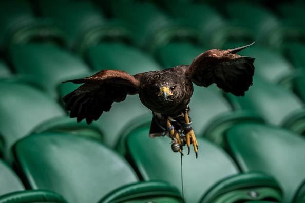 一物降一物。温网顺利举行,哈里斯鹰Rufus功不可没。它的作用是在 比赛期间吓走球场上空的鸽子,因为鸽子会分散球手的注意力。(David Ramos/Getty Images)
