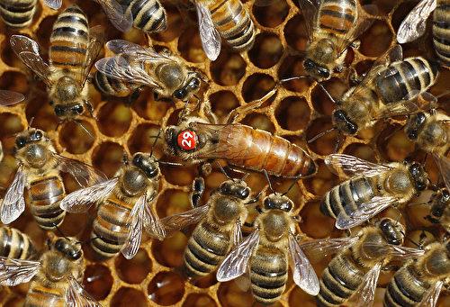 蜂后又稱蜂王或女王蜂,寿命可长达4-5年。圖中間最大的那隻蜜蜂就是蜂后。 (SEBASTIAN WILLNOW/AFP/Getty Images)