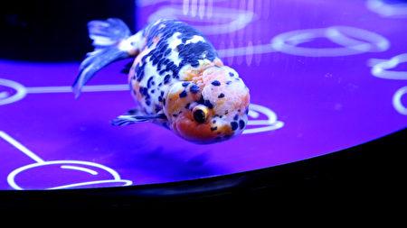 墨田水族館7月10日至8月31日舉辦「夏日江戶金魚展 」,展出20多個品種的金魚。(葉妙音/大紀元)