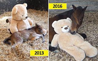 微风(Breeze)时常与它的泰迪熊交流、拥抱着它入睡;三年后,一眼就认出养母,又是闻又是舔,还衔起熊参观它的马厩。(脸书图片,视频截图/大纪元合成)