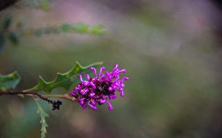 在西澳南部,通常9月份是野花盛季。 圖為西澳南部的野花。(林文責/大紀元)