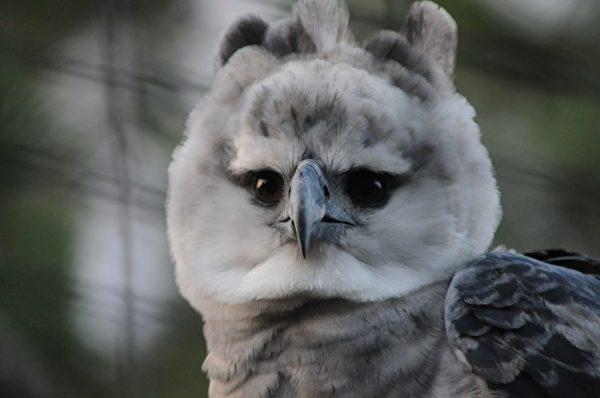 角雕幼鸟。(公有领域)
