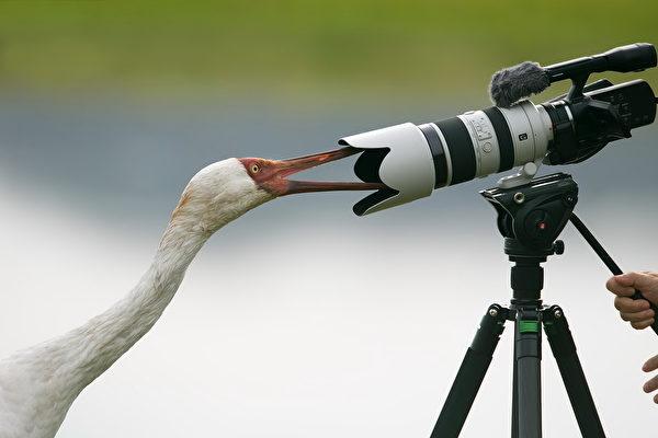 不怕生喜歡和人親近、好奇的白鶴。(群英飛羽社團提供)