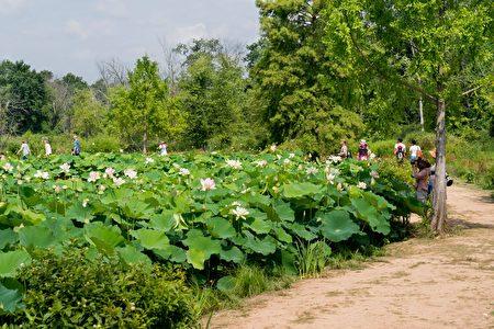 华府肯尼渥兹水上花园内有十多个池塘,种植了莲花和睡莲。(石青云/大纪元)