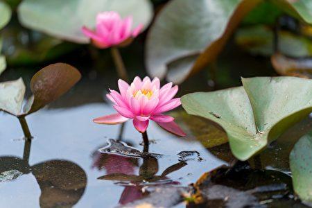 华府肯尼渥兹水上花园内种植了各种颜色的睡莲。(石青云/大纪元)