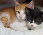 圖:BARC動物收容所的貓隻過量,收容所推出超低價一美元領養費,希望能有更多人領養,減少對貓實施安樂死的數量。(易永琦/大紀元)