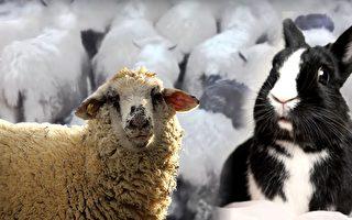 新西蘭一些地區發洪水,三隻野生兔子跳到一群羊中2隻羊的背上,和羊群一起跑到安全的高地。(視頻截圖,Pixabay/大紀元合成)