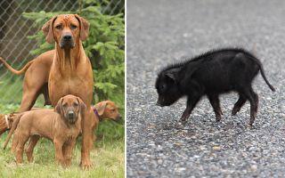狗妈妈收养2周大猪崽 有爱画面让人微笑