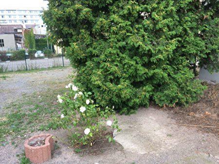 李洋潔遇害後,屍體被扔到後院外的雲杉樹下,德紹市後來在這裡種植了一株白玫瑰花,來紀念這位無辜遇害的中國女留學生。(周仁/大紀元)