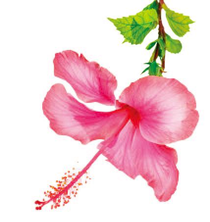 能洁净肌肤的木槿花(Shutterstock)