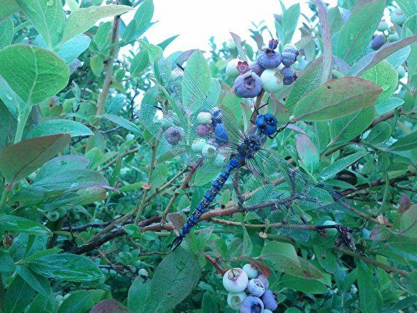 图:刘恩海的乐活农场不用农药化肥与除草剂等,各种物种共存,形成一个良好的生态环境。 (刘恩海提供)