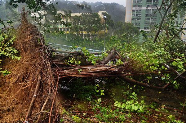 8月23日,天鸽袭港,天文台改挂10号风球。在强风吹袭下,许多路树被连根拔起。(余钢/大纪元)