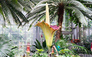 12年生長 美國家植物園第三朵巨花魔芋盛開