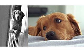 这只黄金猎犬样样可心,就是有个不同寻常的习惯让新主人难以理解。(视频截图/大纪元合成)