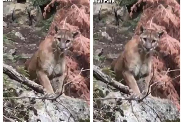 美國兩名男子上個月在加州紅杉國家公園的一條小徑,意外遇上一隻大獅子。(ABC推特視頻截圖,大紀元合成)