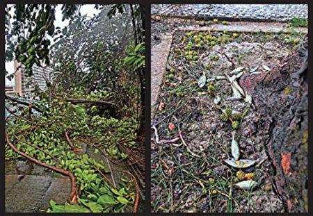 (左)有大树倒塌,树叶、树枝及杂物随处飘浮。(右)水退后,地上留下被潮水冲上岸的小鱼。(余钢/大纪元)