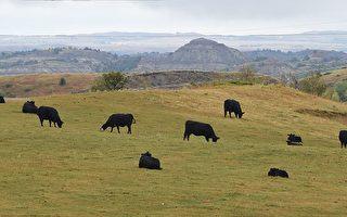 美国养牛协会高级官员盛赞川普总统致力于推动农业发展。(ROBYN BECK/AFP/Getty Images)