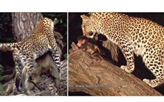 花豹猎杀小狒狒的妈妈 接下来的举动超想像