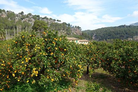 愛吃橘子嗎?喏,這就是你的天堂。(来源:康妮/大纪元)