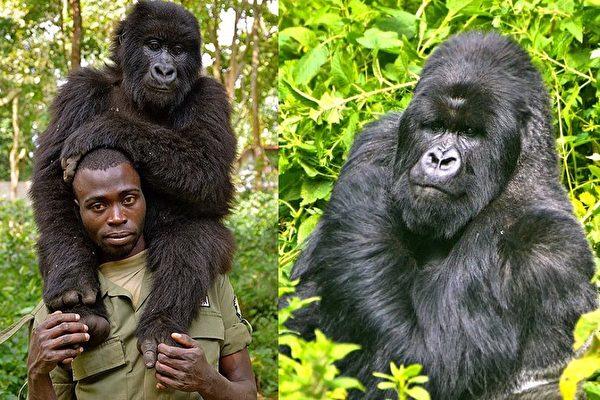 保育员伤心独坐旧轮胎,大猩猩上前拥抱给安慰。(脸书/大纪元合成)