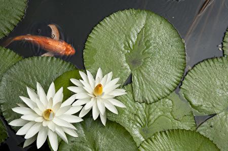金鱼在缺氧的环境中,可将依赖其产生酒精的能力存活。图为池塘中的金鱼。(Fotolia)