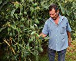 由于加州鳄梨今年大幅减产,近日鳄梨的价格已经涨到离谱。图为墨西哥果农Alfonso Trujillo在看他的牛油果收成。(RONALDO SCHEMIDT/AFP/Getty Images)