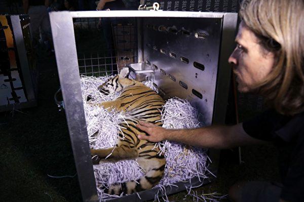 AL执行主管Jason Mier 正将3只小老虎一一装箱,准备送往机场。(ANWAR AMRO/AFP/Getty Images)