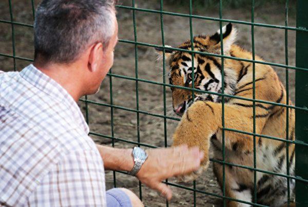 今年7月10日,虎崽被运送到法国之前,AL一位志愿者正照看它们。(ANWAR AMRO/AFP/Getty Images)