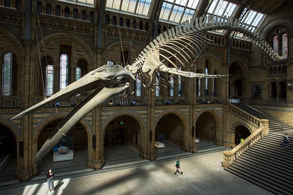 自然歷史博物館的大廳來了新主人。一副有126年歷史的藍鯨骨骼替代了原先的仿製恐龍骨骼。藍鯨的名字是希望(Hope)( Rob Stothard/Getty Images)