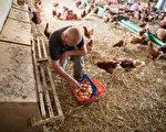 德国蛋农在收集有机鸡蛋。(Axel Schmidt/Getty Images)