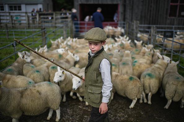 蘇格蘭牧童。近日,蘇格蘭的Lairg舉行了一場羊羔大拍賣。這是北歐最大的一天性牲畜市場,蘇格蘭北部有大約兩萬隻羊被送到這裡拍賣。圖為九歲的牧童Rory Scott把羊群趕進羊圈裡。( Jeff J Mitchell/Getty Images)