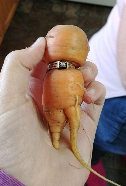 套在胡萝卜上的订婚戒指。(加通社)