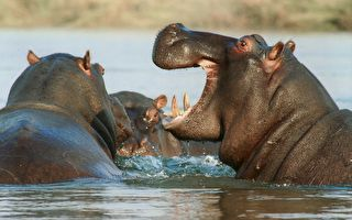 南非牛羚被鳄鱼咬住拖入水中 河马挺身相救