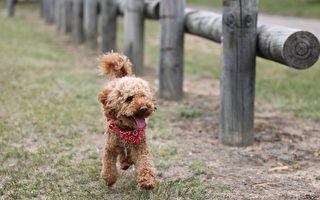澳洲一家動物醫院最近新開了一所狗狗學校,為狗狗們提供培訓。(Pixabay)